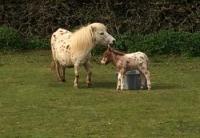 araki-horse-with-foal