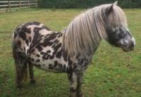 araki-spotted-pony