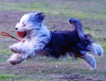 araki tibetan terriers flying