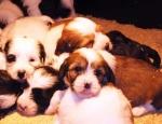 araki-puppies