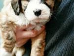 araki-puppy