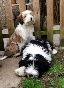 araki puppies